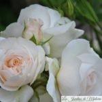 ❤  Focus sur le rosier 'Kosmos'