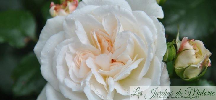 ❤  Focus sur le rosier 'Petticoat'
