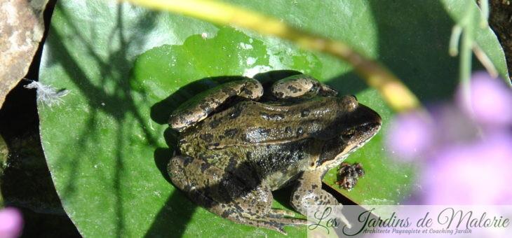 Des grenouilles brunes dans mon bassin!