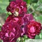 💔 Focus sur le rosier 'Cardinal Hume'