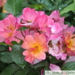 ❤ ❤ ❤  Focus sur le rosier 'Yann Arthus Bertrand', un joyeux luron!