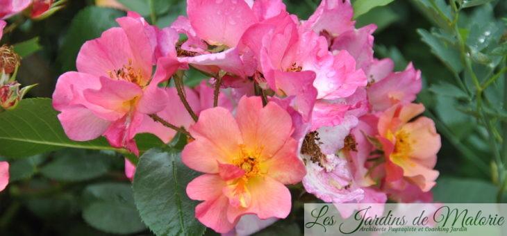 ❤  Focus sur le rosier 'Yann Arthus Bertrand', un joyeux luron!