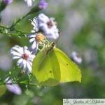 🦋 Papillon Citron: Longue vie l'Artiste!