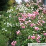 Rosa rugosa, des rosiers sans chichis!