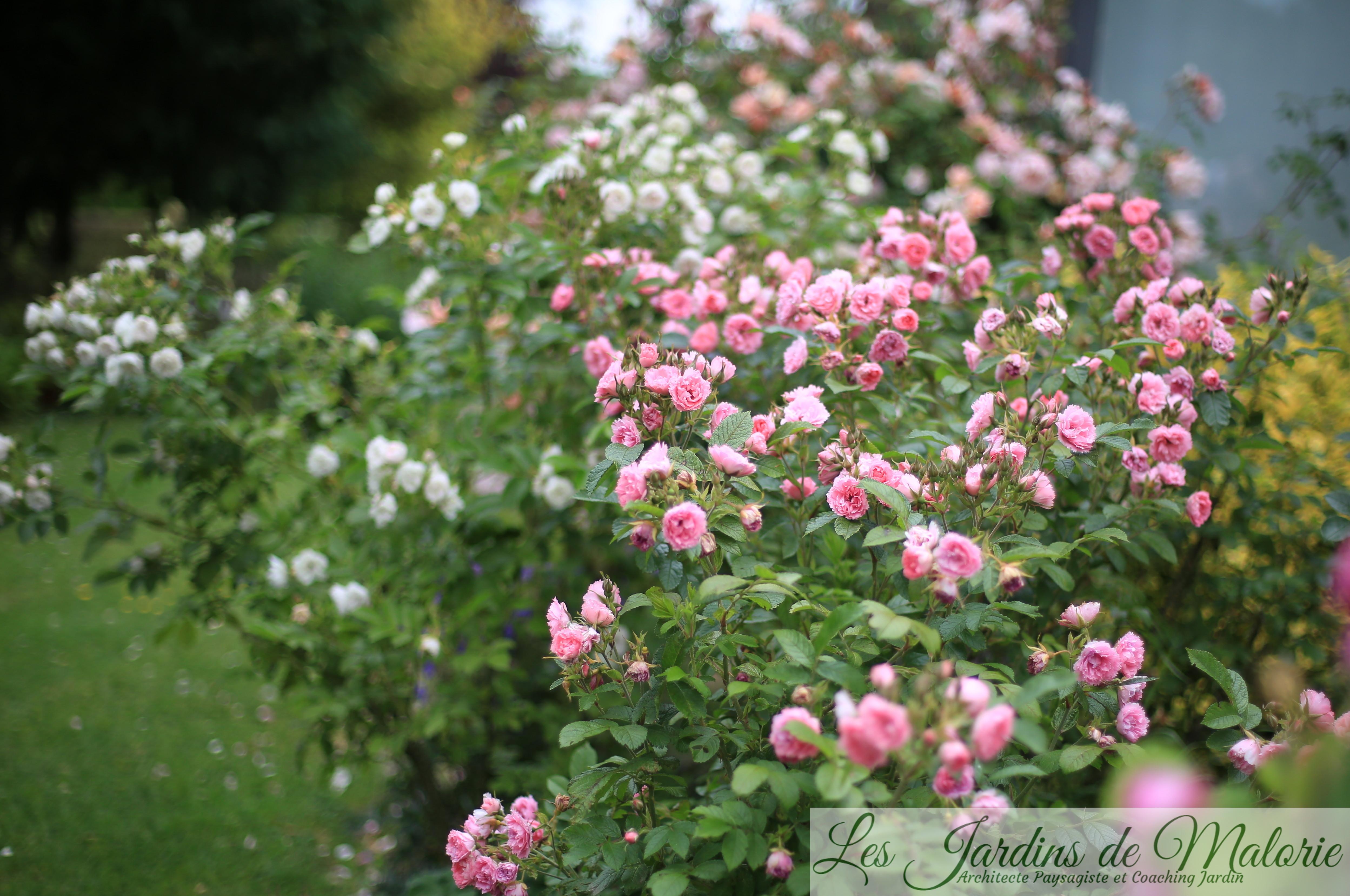 Rosa 'Pink Grootendorst' et en arrière plan, 'White Grootendorst'