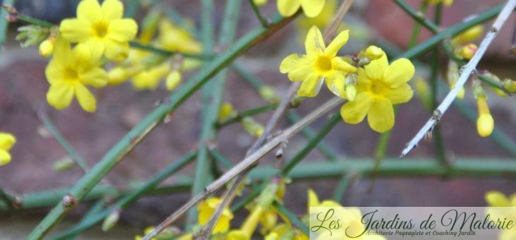 Jasmin d'hiver à fleurs jaunes (Jasminum nudiflorum).