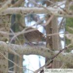 🐦 Oiseaux du jardin: le troglodyte mignon