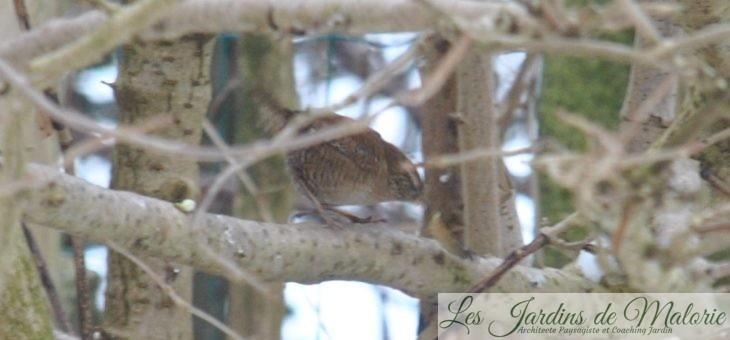 Oiseaux du jardin: le troglodyte mignon