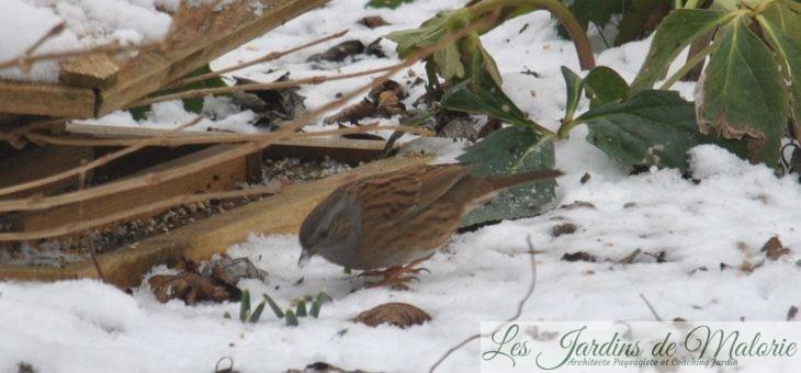  Oiseaux du jardin: l'accenteur mouchet
