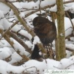 🐦 Oiseaux du jardin : le merle noir