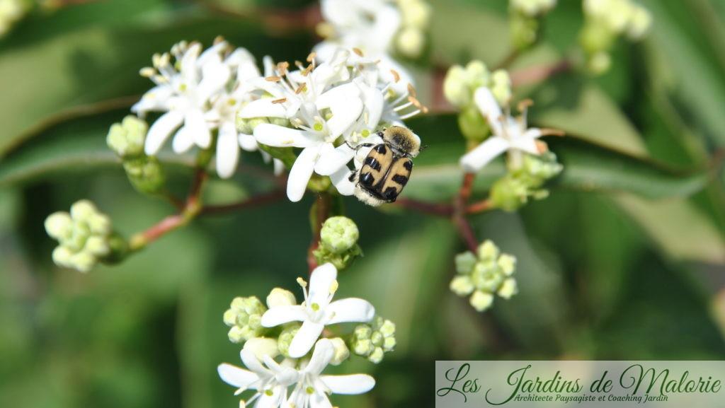trichius sur les fleurs de l'heptacodium miconoides