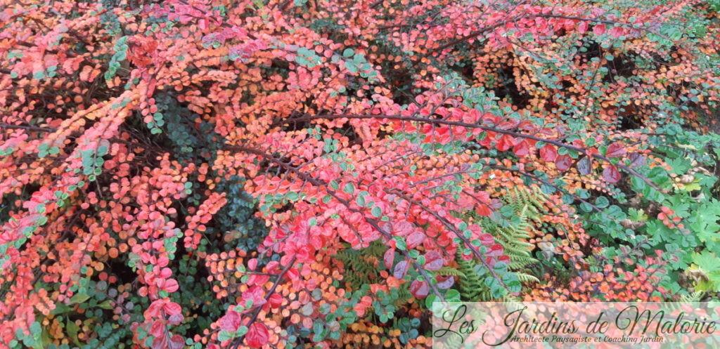 couleurs d'automne du cotonéaster horizontalis