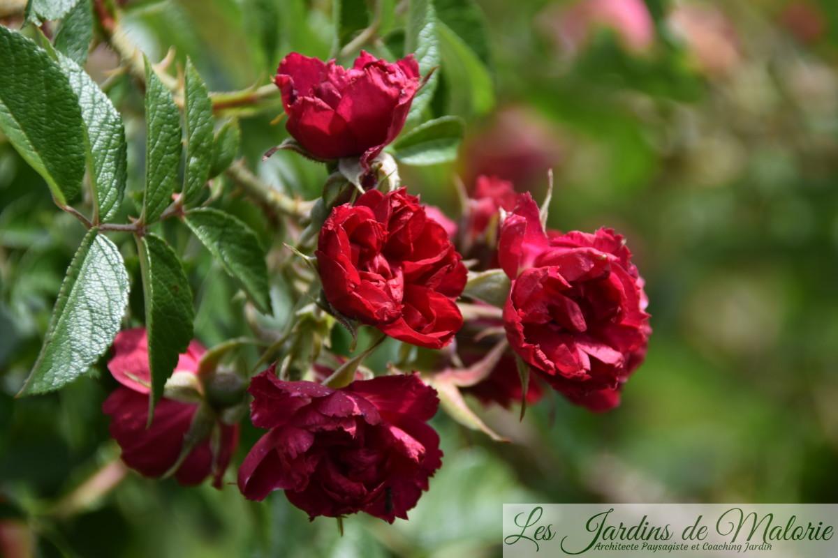 rosa 'Grootendorst Suprême'