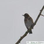 🐦 Oiseaux du jardin : la grive mauvis