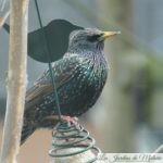 🐦 Oiseaux du jardin : l'étourneau sansonnet