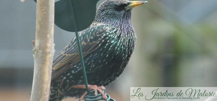 Oiseaux du jardin : l'étourneau sansonnet