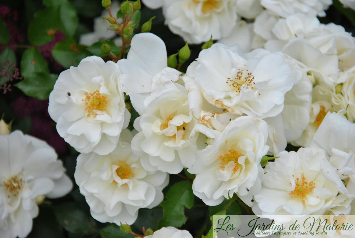 rosier 'Opalia'