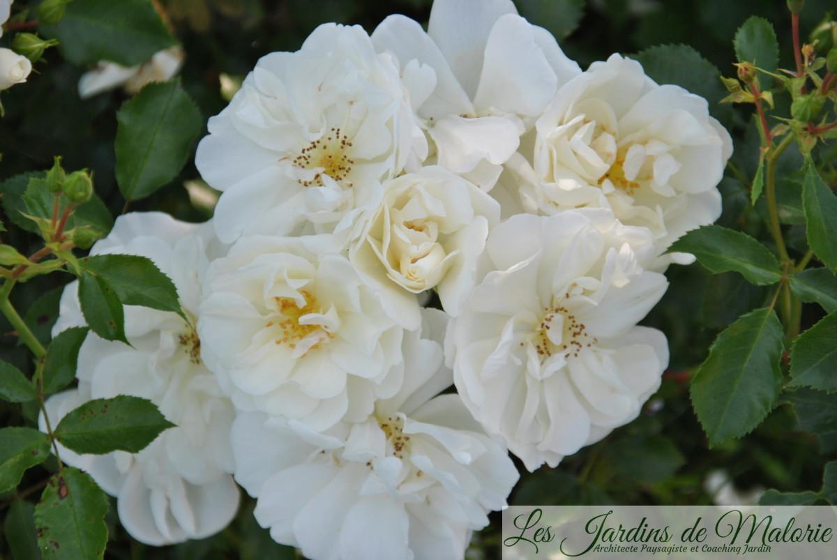 rosa 'Opalia'