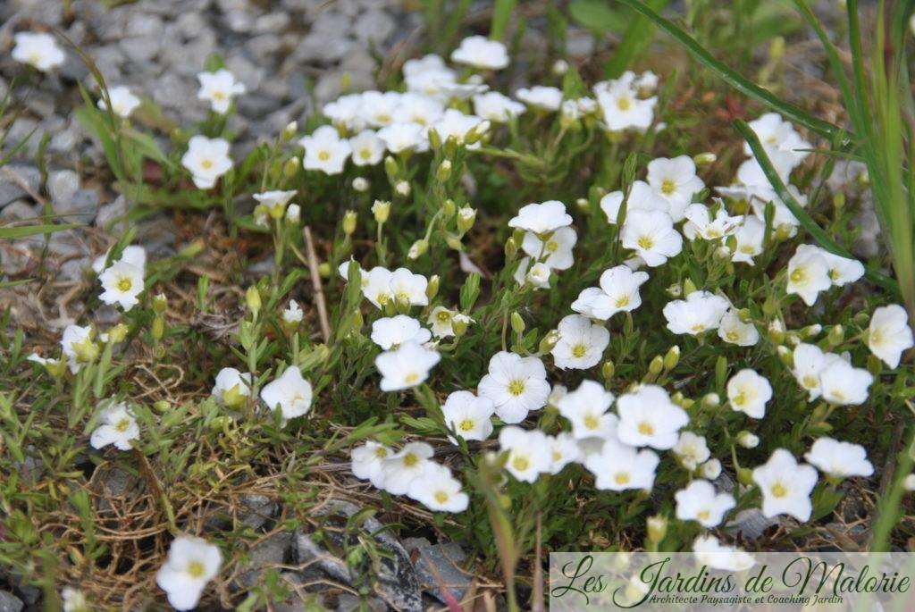 arenaria montana dans un jardin de graviers