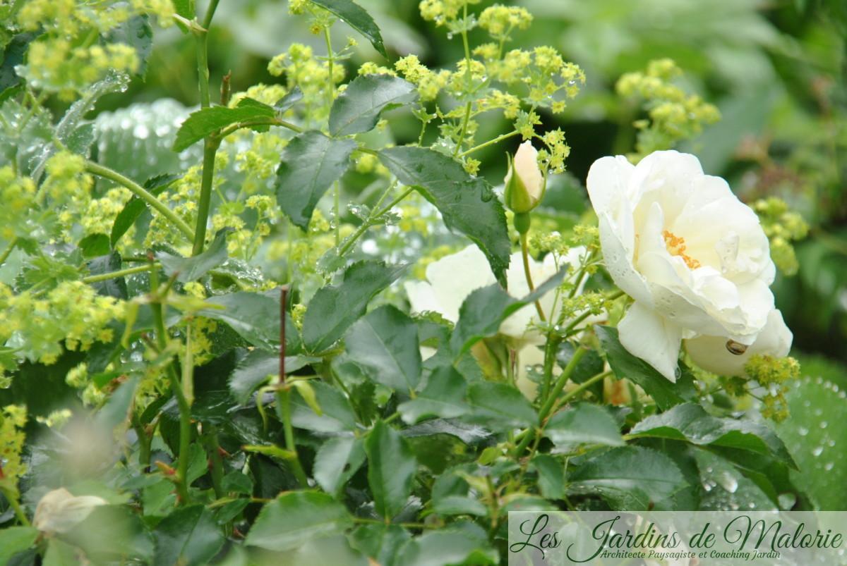 alchemille et rosier 'Opalia'