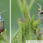 🐝  Auxiliaires du jardinier : la Malachie à deux points, drôle d'insecte aux fesses rouges