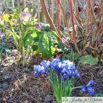 Chroniques de mon jardin: déjà le printemps!?