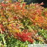 Nandina domestica: un arbuste flamboyant!