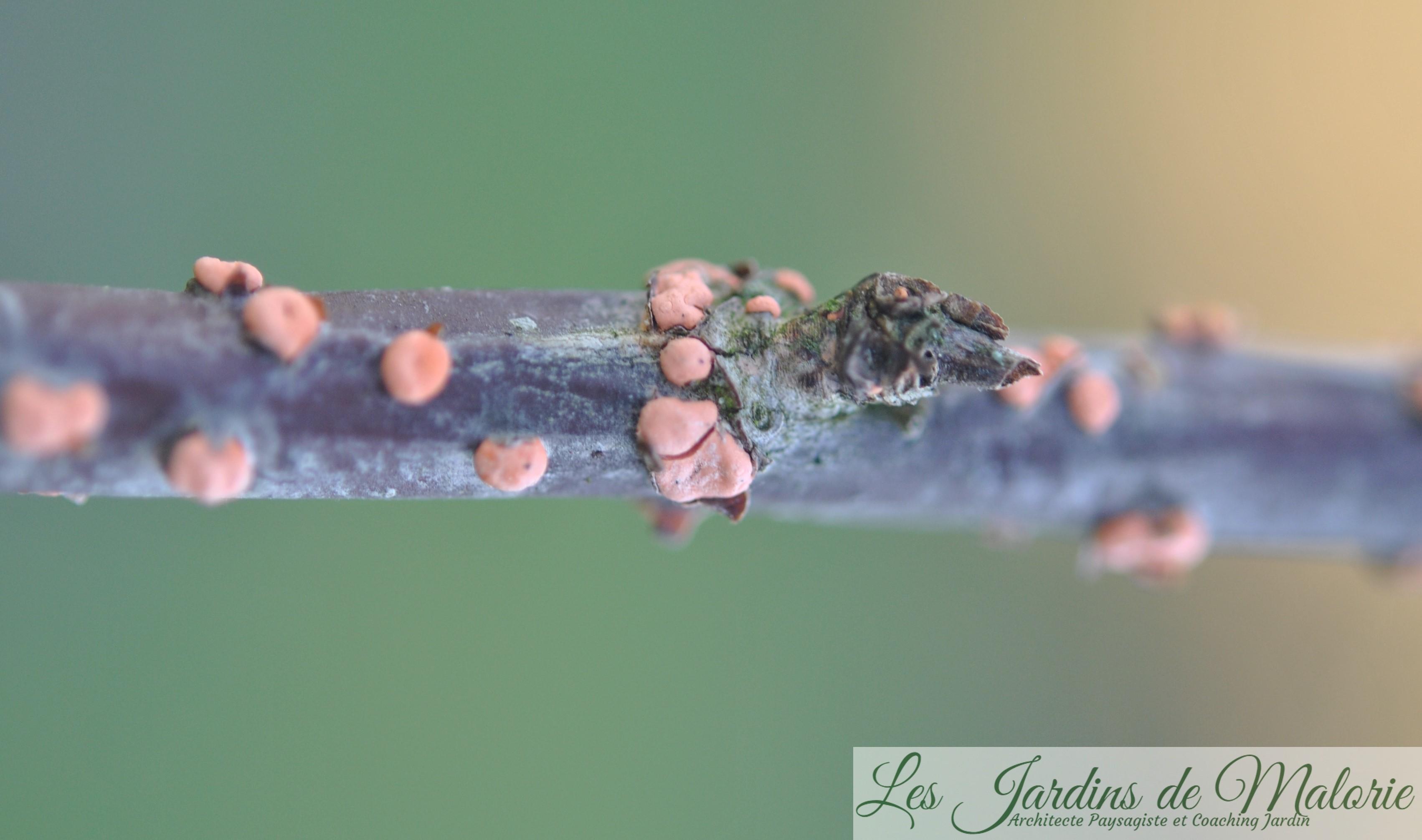 Des pustules oranges sur les branches: la maladie du corail - Les ...