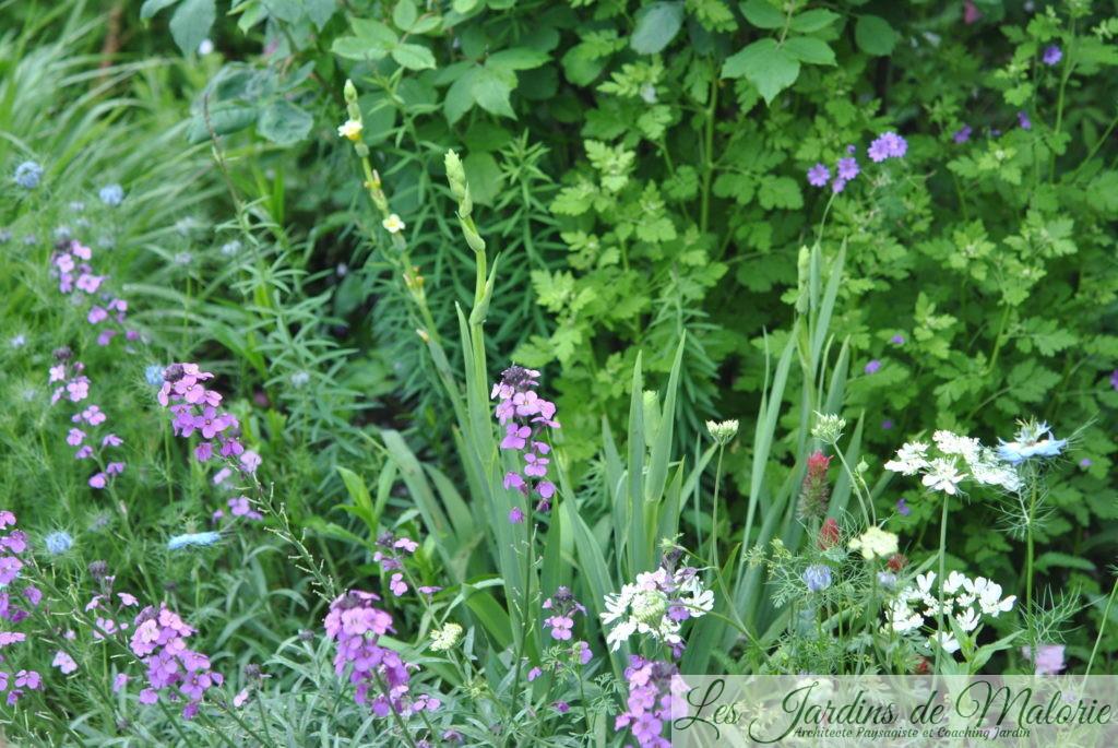 erysimum 'Bowles mauve', sisyrinchium striatum, ammi majus, géranium pyrenaicum, nigelles de Damas, trèfle incarnat
