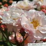 ❤  Focus sur le rosier 'Cornélia'