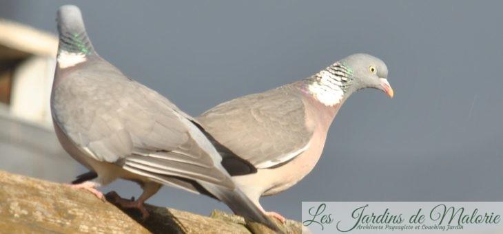  Oiseaux du jardin : le pigeon ramier