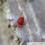 Parasites au jardin: l'araignée rouge, un acarien