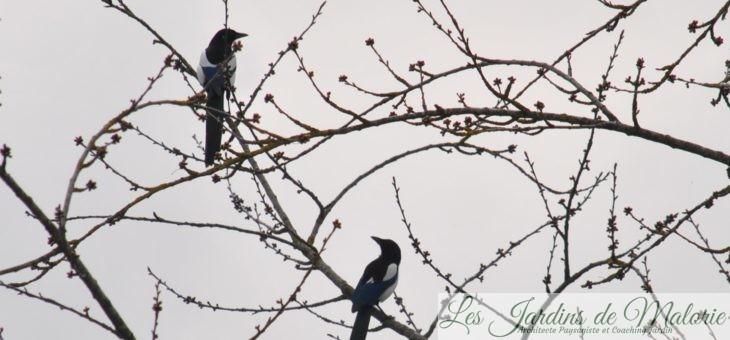 🐦 Oiseaux du jardin: la Pie bavarde
