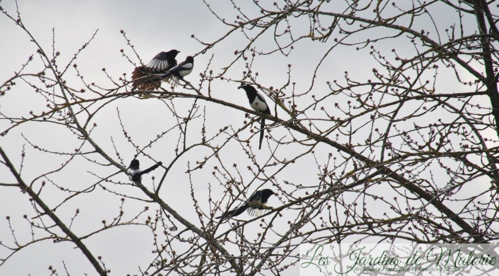 Oiseaux Du Jardin La Pie Bavarde Les Jardins De Malorie