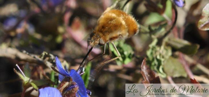 🐝  Le bombyle, une mouche colibri!