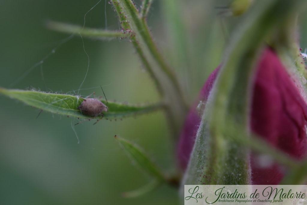 momie de puceron, parasité par une larve d'aphidius