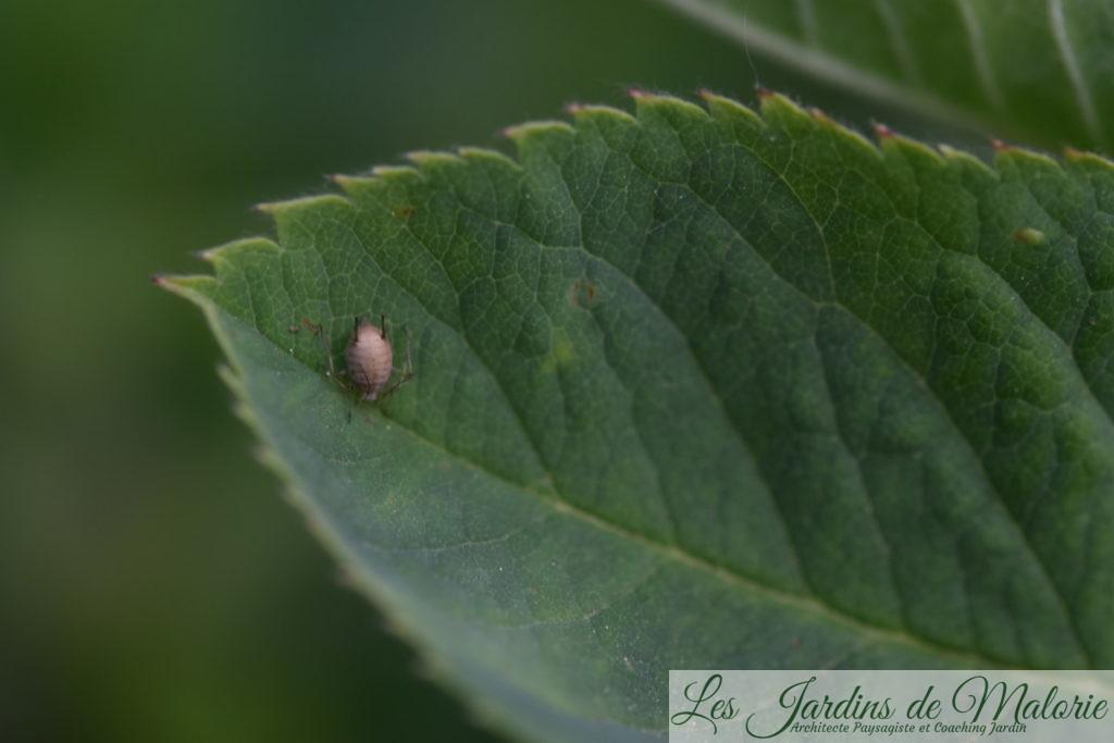 puceron parasité par une larve d'aphidius