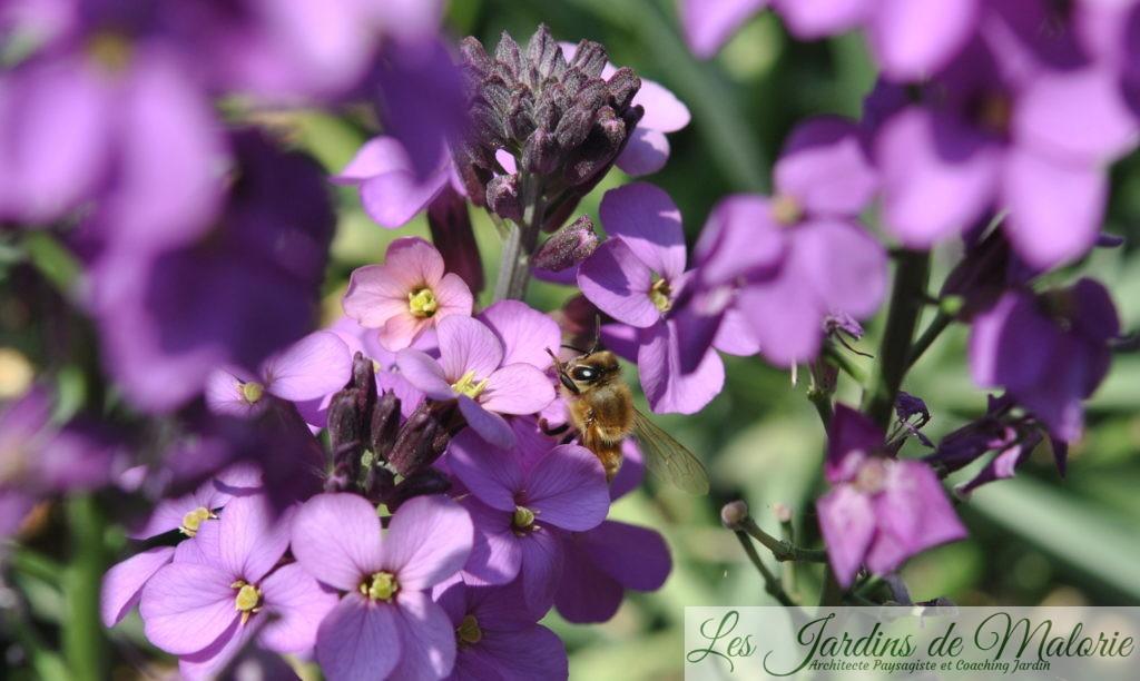 erysimum 'Bowles mauve' butiné par une abeille