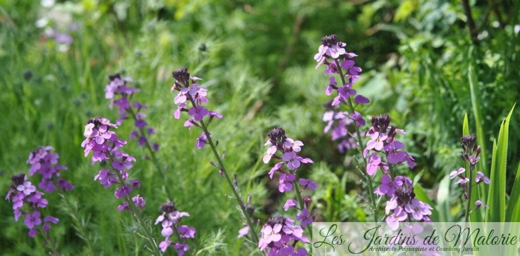 Giroflée arbustive - Erysimum(x) linifolium 'Bowles Mauve'