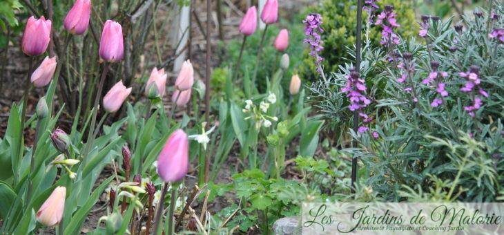 Chroniques de mon jardin: tulipes, narcisses & cie (1)