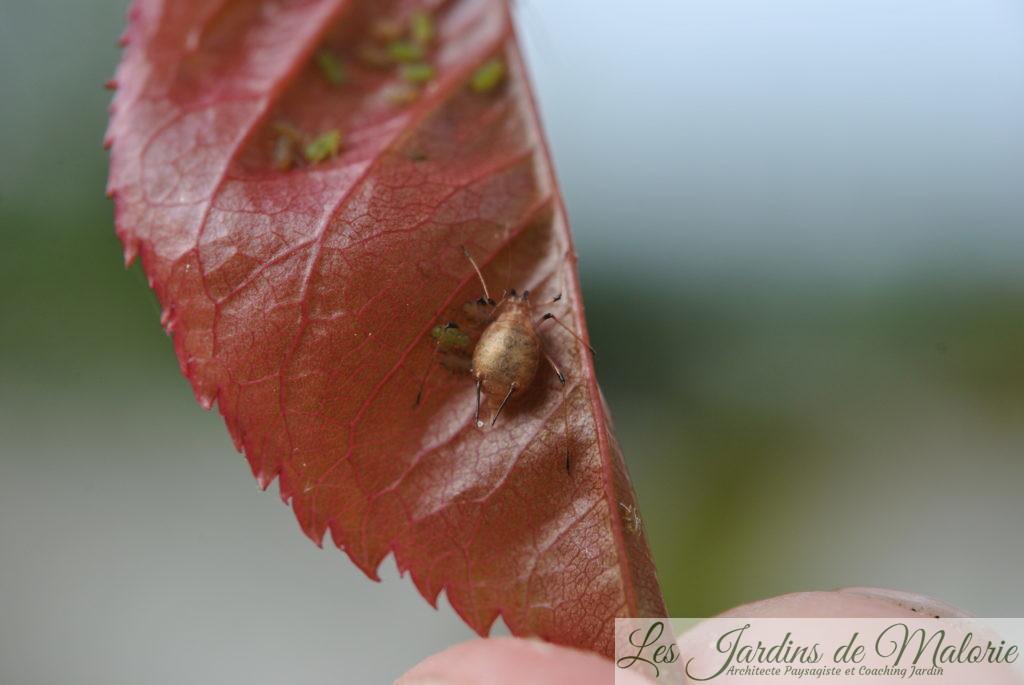momie de puceron, puceron parasité par une larve d'aphidius