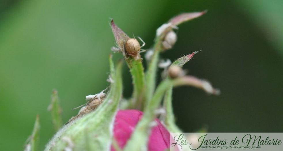 """auxiliaires du jardinier: une grosse """"momie"""" beige, c'est un puceron parasité par une larve d'aphidius. A gauche, une exuvie de puceron, c'est-à-dire la peau blanche qu'il abandonne lors de la mue."""