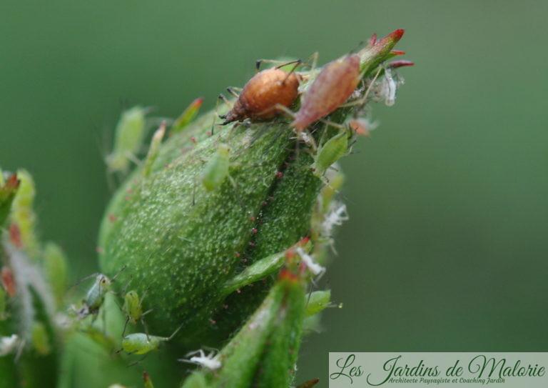 """auxiliaires du jardinier: au milieu des pucerons, une grosse """"momie"""" dorée, c'est un puceron parasité par une larve d'aphidius"""