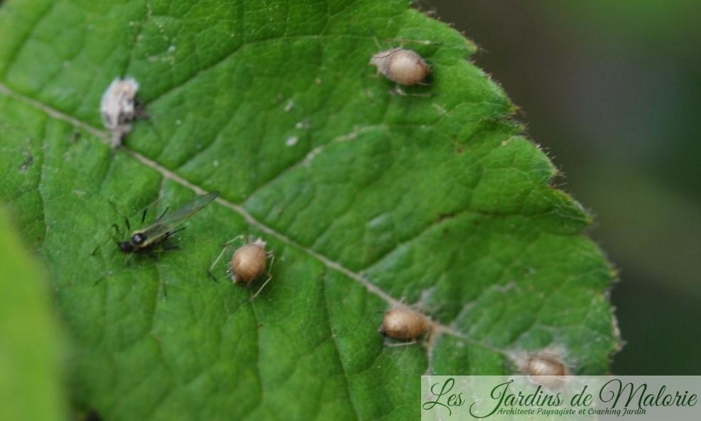 momies de pucerons squattées par des larves d'aphidius