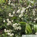 Spiraea prunifolia Plena