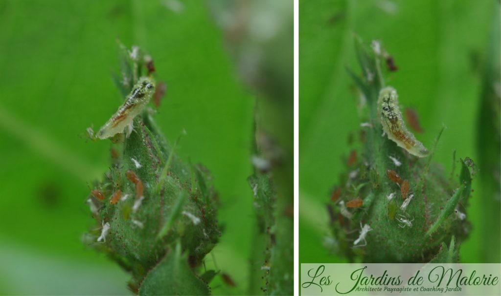 larve de syrphe qui mange les pucerons