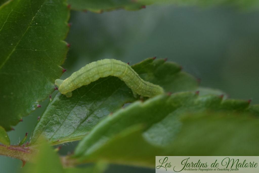sauf erreur, chenille arpenteuse, chenille deOperophtera brumata ou Phalène Brumeuse (papillon de nuit) (25 avril 2020)