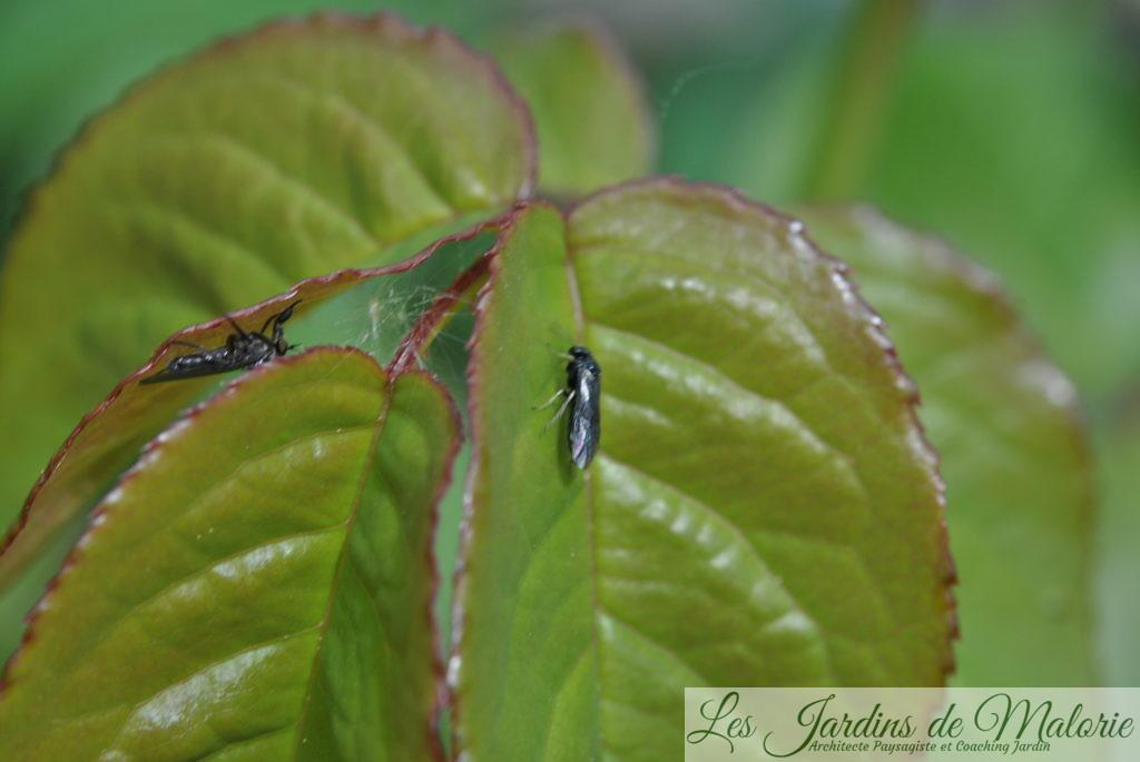 sauf erreur de ma part,blennocampa pusilla (aussi appelée tenthrède rouleuse des feuilles de rosier)