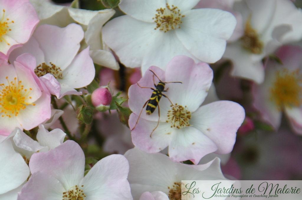 sur le rosier 'Ballerina', cet insecte estClytus arietis, le Clyte bélier (8 et 14 mm)