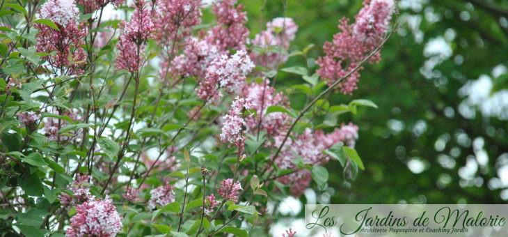  Le parfum du lilas qui embaume!